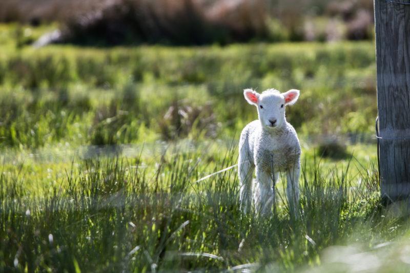 agneau effet panurge